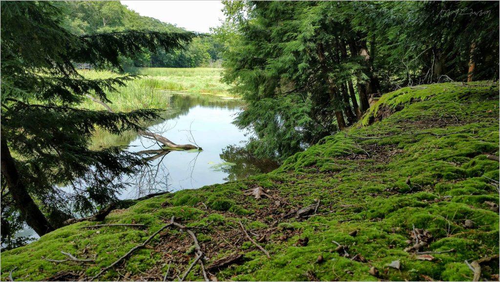 hemlock trees along river